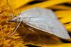 Triangle of Scales - _TNY_9813 (Calle Söderberg) Tags: macro canon canon5dmkii canonef100mmf28usmmacro canoneos5dmarkii raynox dcr250 meike mk300 glassdiffusor flash insect yellow moth udea decrepitalis pyraustini mott ängsmott bräkenängsmott pyralidae crambidae fjäril telekia speciosa giantoxeyedaisy strålöga ngc allnaturesparadise specinsect f22 5d2