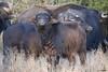 Gizmo (marianoerro) Tags: bubalusbubalis ternero búfaloacuático búbalo búfalodeagua arni bóvido lapampa argentina calf