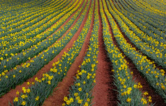 Dancing with daffodils (snowyturner) Tags: daffodils spring rows lines field cornwall planted light