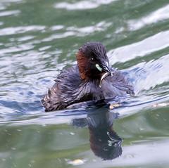30 Days Wild #2/30 (londonlass16 LRPS) Tags: fish bird nature outdoor wildlife prey waterfowl britishwildlife stickleback littlegrebe maplelodgenaturereserve mlnr 30dayswild