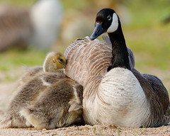 momma, we're cold (fred.colbourne) Tags: canada beach birds geese sand wildlife goslings alberta canadageese elkislandnationalpark