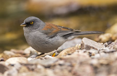 Yellow-eyed Junco (Hockey.Lover) Tags: birds explore mtlemmon yelloweyedjunco bandedbird marshallgulch arizona2015