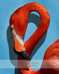 Curves, A Head (Debi Dalio) Tags: blue portrait orange bird nature animal closeup photography shot head wildlife flamingo americanflamingo
