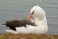 DSC_9376Wenkbrauwalbatros : Albatros a sourcils noirs : Diomedea melanophris : Schwarzbrauen-Albatros : Black-browed Albatross