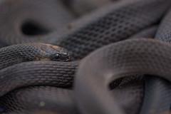 Ninia atrata (sebastiandido) Tags: naturaleza nature nikon colombia snake wildlife llanos serpiente ninia d7100 snakeball