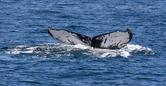 Tail-drawing of Humpback Whale (gourab66) Tags: travel nature canon provincetown capecod massachusetts whale mammals atlanticocean humpbackwhale canon60d canonef100400mmf4556lisiiusm