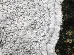 Ochrolechia parella, with zoned white prothallus (aburgh) Tags: lichen shetland unst crustose saxicolous ochrolechia blsfieldmeeting