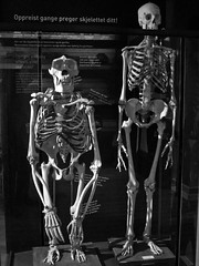 """Upright walking affects your skeleton"" (estenvik) Tags: man norway skeleton skull norge gorilla human anatomy homo cranium trondheim ntnu kranium sapiens comparative vitenskapsmuseet hominide menneske skjelett anatomi hodeskalle estenvik erikstenvik menneskeape"