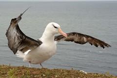 DSC_9486Wenkbrauwalbatros : Albatros a sourcils noirs : Diomedea melanophris : Schwarzbrauen-Albatros : Black-browed Albatross