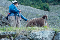 Peru-0725.jpg (Matt and Debbie) Tags: peru llama 2015 wayna winaywayna wiay