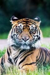 Sumatran tiger (Sam Hamer) Tags: nature canon wildlife tiger majestic westmidlands sumatran safaripark