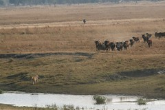 IMG_9144 (stephenjjohnson) Tags: africa lion safari botswana lioness 30d southernafrica chobenationalpark