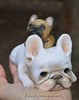what's that on my head? (French Bulldog Works) Tags: portrait sculpture dog pet france cute face puppy french bostonterrier beige funny flat little sweet cream bulldog plush clay tiny figure works frenchie piglet custom figurine bully dasha francais batdog smooshy ilovemydog flatface bouledogue bullog creame smooshieface fbw batpig figurint dashagoux frenchbulldogworks ilovemybulldog ilovemyfrenchie