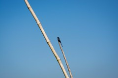 Jack Sparrow on a bamboo (haqiqimeraat) Tags: sparrow birds bird sky clear bamboo bangladesh dhaka pubail tamron 90mm nikon d7100 nature serene relaxing clearsky landscape photography telephoto