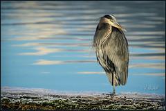 Heron - Dec.15 (Maclobster) Tags: blue heron pitt lake bird great ardea herodias