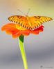 BOK_IMG-2779-2 (Brandohl Photography [Wendy]) Tags: bok tower flower butterfly insect stem garden explorer