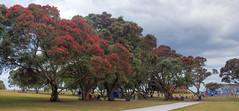 Pohutukawa Trees at Milford Reserve (vicmarnz) Tags: milford auckland hdr trees park newzealand pohutukawa