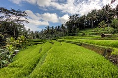 Ubud rice terraces. (Jhaví) Tags: verde green asia indonesia terrazas arroz terraces rice bali ubud