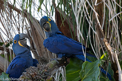 Hyacinth macaw (Lutz Dürselen) Tags: brasilien hyazinthara ibc pantanal portojofre vogel bird