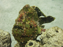 Scuola Sub LOTO (Scuola Sub LOTO) Tags: diving immersioni acqua water mare barrieracorallina corallo pesci filippine subacquea sottacqua nuoto sport