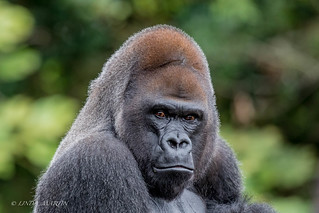 'Casey'  Western Lowland Gorilla
