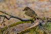 Record shot of Eastern Phoebe (Sayornis phoebe) - Vancouver, BC (bcbirdergirl) Tags: 1stwinterrecordforvancouver easternphoebe vancouver bc rare jerichopark wooodenbridge crazywinterbirding passerine easternflycatcher sayornisphoebe flycatcher recordshot
