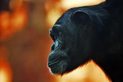 Schimpanse (Michael Döring) Tags: gelsenkirchen bismarck zoomerlebniswelt zoo schimpanse chimpanzee afs105mm14e d7200 michaeldöring