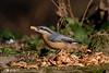 _F0A7294.jpg (Kico Lopez) Tags: galicia lugo miño sittaeuropaea spain trepadorazul aves birds rio