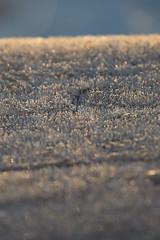 In Sweden, 2016 (Etienne Gaboreau) Tags: frozen lake lac gelé glacé suède sweden sverige sollefteå vasternorrland europe winter 2016 snow frost froze freeze glace neige cold sun light lights wood forrest tree trees vsco