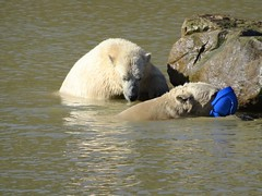 Nobby & Nissan 7 Polar Bears P3 03/2016 (LadyRaptor) Tags: polarbear projectpolar ywp yorkshirewildlifepark yorkshire wildlife park polarbears polar bear bears animal animals cute hugs doncaster best friends playing play fight fighting exploring rocks swimming water diving jumping hat toy nissan nobby