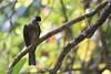 Bulbul merle (belgobreizh) Tags: 2016 mahé seychelles novembre bulbul bulbulmerle hypsipetescrassirostris diksnavelbuulbuul seychellesbulbul bulbuldelleseychelles oiseau endémique