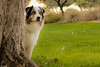 Neighborhood Watch (Jasper's Human) Tags: australianshepherd aussie