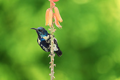 Purple Sunbird (Curlylocks) Tags: bird wildlife sunbird purple green wild flower aloevera india delhi newdelhi animal small