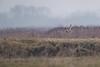 R16_5634 (ronald groenendijk) Tags: cronaldgroenendijk 2016 rgflickrrg animals asioflammeus bird birds birdsofprey europe groenendijk holland nature natuur netherlands outdoor owl owls ronaldgroenendijk roofvogels shortearedowl uil uilen velduil vogels wildlife
