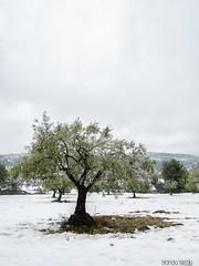Elementos (Nando Verdú) Tags: arbol nieve tree snow viento lluvia frio hielo paisaje landscape rain wind nature naturaleza elda petrer alicante biar monte cielo nevado copos capa blanca blanco white olivo montaña