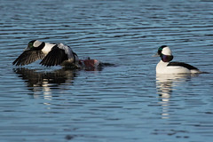 Buffleheads, Shoreline Park, Port Moody, BC (JohnReynolds2012) Tags: bird birds duck canada wildlife animals bc