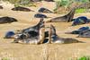 Ano Nuevo State Park (MarinSD) Tags: wildlife meetup anonuevo california coast sea ocean elephantseal elephantseals seals