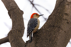 Red-bellied Woodpecker (rmikulec) Tags: woodpecker red bellied animal birds photograph nature wild hiking mississauga ontario canada wildlife