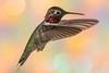 Anna's Hummingbird (gilamonster8) Tags: red hummingbird flight arizona ngc bokeh beyondbokeh color orange yellow green