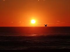 Liberdade de voar num horizonte qualquer, liberdade de pousar onde o coração quiser. (Cecília Meireles) (Ⱥndreia) Tags: sonydschx200v portugal póvoadevarzim 2017 ave bird mar sea sol sun pôrdosol sunset
