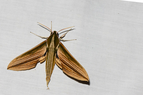 Cechetra lineosa - Fang Hot Springs_2016-04-21_215