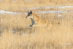 Coyote runs in hoping for leftovers