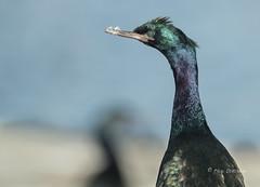 Pelagic Cormorant (Rick Derevan) Tags: bird cormorant pelagiccormorant phalacrocoraxpelagicus