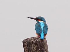 カワセミ (Polotaro) Tags: fzuiko300mmf45 bird nature olympus epm2 pen 鳥 野鳥 自然 オリンパス ペン ズイコー zuiko カワセミ kingfisher 12月