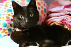 Folded? (Kerri Lee Smith) Tags: cats felines kitties blackcats folded tshirts pillow ella collective52photoproject