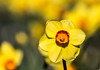 Daffodil Sunshine-0095 (918monty) Tags: daffodil narcissus perennial plant bulb bulbiferous floral yellow flowers springtime dallasarboretumbotanicalgardens jonquil tepals amaryllidaceae