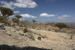 yem_1613 (Peter Hessel) Tags: yemen socotra soqotra jemen dragonbloodtree dracaenacinnabari diksamplateau