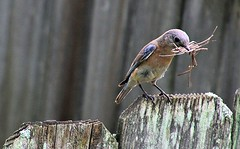 Bluebird Mama gathering straw for her nest (Bella Lisa) Tags: grass nest straw birdhouse bluebird hay nestbox nestbuilding fencedfriday