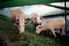 26-106 (ndpa / s. lundeen, archivist) Tags: bali color film water animal animals rural 35mm indonesia cow cattle cows 26 nick horns ox southpacific ricepaddies 1970s 1972 oxen indonesian grazing graze balinese dewolf oceania pacificislands banteng nickdewolf photographbynickdewolf reel26