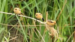 3 juvenile bearded tits (dayho78) Tags: bird nature birds canon tit tits wildlife bearded pritty rspb beardedtit reedling